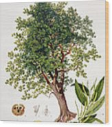 Sweet Chestnut Wood Print by Johann Kautsky