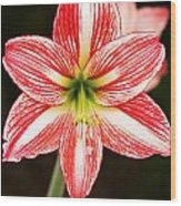 Sweet Lillian Amaryllis Wood Print
