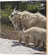 Sweet Mama Goat Wood Print