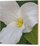 Sweet White Trillium 5 Wood Print