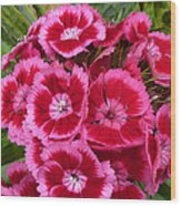 Sweet William Has A Pink Eye Wood Print