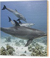 swimming Bottlenose dolphins Wood Print