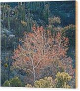 Sycamore And Saguaro Cacti, Arizona Wood Print