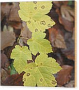 Sycamore Leaves Germany Wood Print