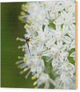 Syrphid Feeding On Alliium Blossom Wood Print