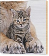 Tabby Kitten Between Large Dogs Paws Wood Print