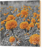 Tagetes Erecta / Aztec Marigold Flower Wood Print
