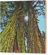 Tahoe Trees - Lake Tahoe By Diana Sainz Wood Print