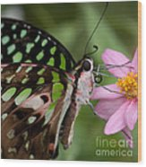 Tailed-jay Butterfly Wood Print