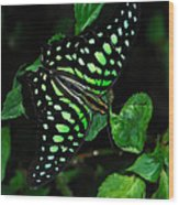 Tailed Jay Butterfly Wood Print