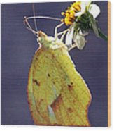 Tailed Orange Butterfly Wood Print