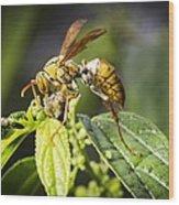 Taiwan Hornet Feeding On A Caterpillar Wood Print
