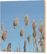 Tall Feathered Grass Hits Sky Wood Print