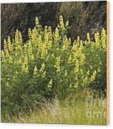 Tall Yellow Lupin Wood Print