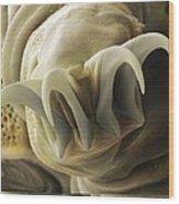 Tardigrade Or Water Bear Foot Sem Wood Print by Science Photo Library