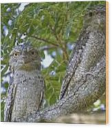 Tawny Frogmouths Wood Print