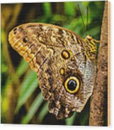 Tawny Owl Butterfly Wood Print