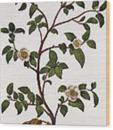 Tea Branch Of Camellia Sinensis Wood Print by Anonymous