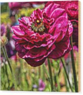 Tecolote Ranunculus Flowers By Diana Sainz Wood Print