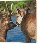 Tender Kiss. Deer In The Pamplemousse Botanical Garden. Mauritius Wood Print by Jenny Rainbow