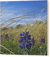 Texas Bluebonnet Center Of Attention Wood Print