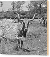 Texas Longhorns A Texas Icon Wood Print by Christine Till