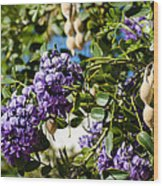 Texas Mountain Laurel Sophora Flowers And Mescal Beans Wood Print