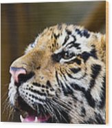 Thai Bengal Tiger Wood Print