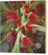 The Bee And Bottlebrush Wood Print