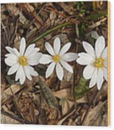 The Bloodroot Trio Wood Print
