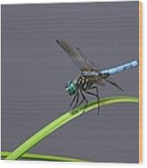 The Blue Dasher Wood Print