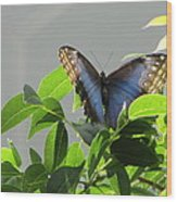 The Butterfly Displaying Its Beauty Wood Print