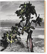 The Catus Tree Siesta Key Florida Wood Print