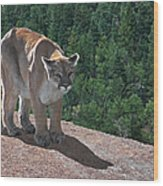 The Cougar 1 Wood Print