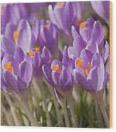 The Crocus Flowers  Wood Print