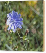 The Delicate Baby Blue Chickory Wood Print