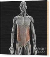 The External Oblique Muscles Wood Print