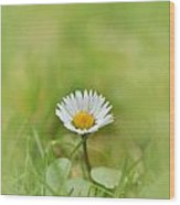 The First White Daisy Wood Print