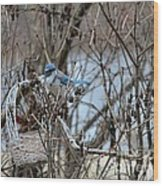The Gathering Blue Jay Wood Print