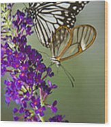 The Glasswing And A Friend  Wood Print