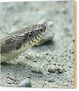 The Gray Eastern Rat Snake Right Side Head Shot Wood Print