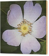 The Humble Dog Rose Wood Print