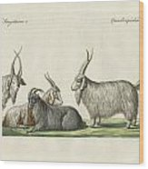 The Kashmir Goats Introduced In France Wood Print