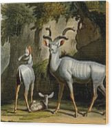 A Kudus Or Kudu Wood Print