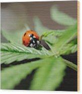 The Ladybug And The Cannabis Plant Wood Print