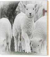 the Lamb is watching Wood Print