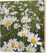 The Land Of White Daisies Wood Print