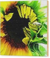 The Largest Sunflower In The Garden Summer Of 2013 Wood Print