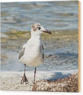 The Laughing Gull Strut Wood Print