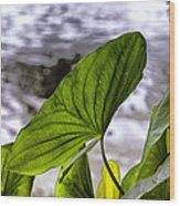 The Leaf Of A Water Plant Wood Print